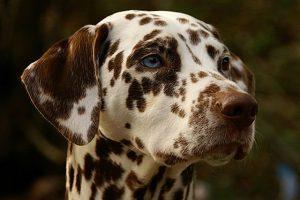 Dalmatiner